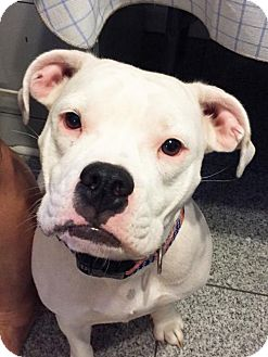 Pit Bull Terrier Mix Dog for adoption in St Louis, Missouri - Gracie May