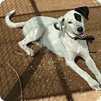 Adopt A Pet :: Gabby - Plano, TX