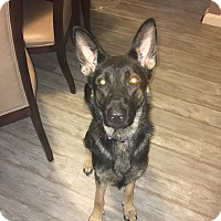 Adopt A Pet :: Layla (COURTESY POST) - Baltimore, MD