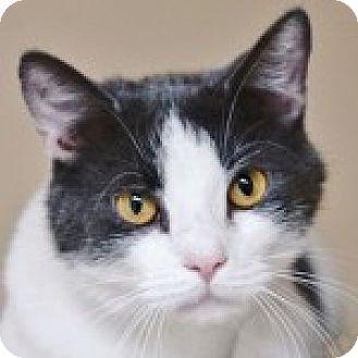 Domestic Shorthair Cat for adoption in Medford, Massachusetts - Maxwell