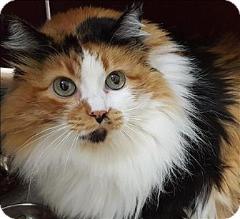 Domestic Longhair Cat for adoption in Sherwood, Oregon - Phoebe