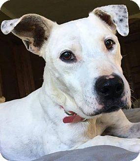 Pit Bull Terrier Mix Dog for adoption in Kansas City, Missouri - Dixie