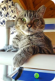 Domestic Shorthair Cat for adoption in Salisbury, Massachusetts - Buzzsaw