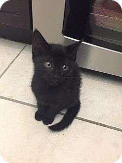 Domestic Shorthair Kitten for adoption in Tampa, Florida - Jet Pac