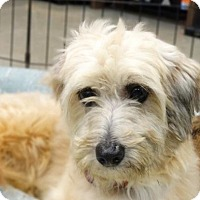 Poodle (Miniature)/Terrier (Unknown Type, Medium) Mix Dog for adoption in Tacoma, Washington - Noel