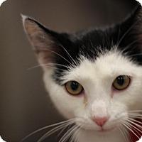 Domestic Shorthair Cat for adoption in Dearborn, Michigan - Burbank
