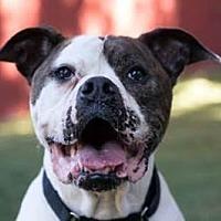 Adopt A Pet :: Daytona - Beverly Hills, CA