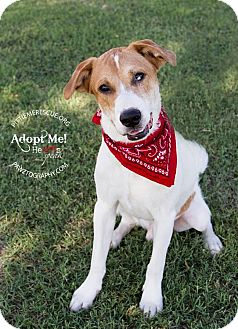 Australian Shepherd Mix Dog for adoption in Gilbert, Arizona - Joey