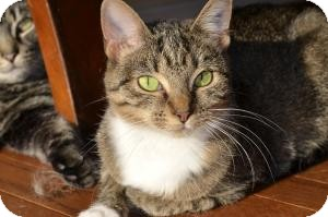 Domestic Shorthair Cat for adoption in Xenia, Ohio - Hope