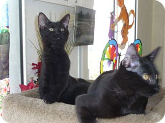Domestic Shorthair Kitten for adoption in Monrovia, California - Teddy and Bear