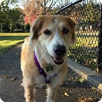 Adopt A Pet :: Goldie - Petaluma, CA