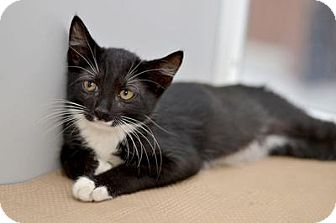 Domestic Mediumhair Cat for adoption in Queens, New York - Puppet