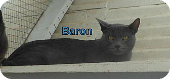 Russian Blue Cat for adoption in Lemoore, California - Baron