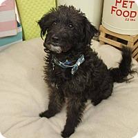 Adopt A Pet :: Socrates - Detroit, MI