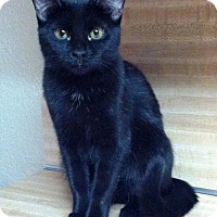 Domestic Shorthair Cat for adoption in Wichita Falls, Texas - Jadis