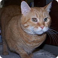 Domestic Shorthair Cat for adoption in Floral City, Florida - Ralph