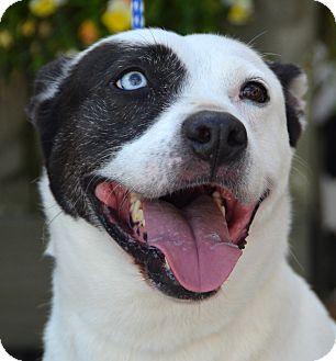 Husky Mix Dog for adoption in Palmyra, Pennsylvania - Bella