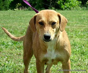 Beagle/Labrador Retriever Mix Dog for adoption in Waterbury, Connecticut - JEWELS~2