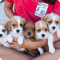 Adopt A Pet :: Style Puppies - Females - San Diego, CA