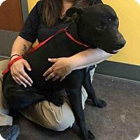 Adopt A Pet :: A025455 - Norman, OK