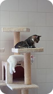 Domestic Shorthair Kitten for adoption in Chippewa Falls, Wisconsin - Carl