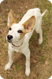 Jack Russell Terrier/Cattle Dog Mix Puppy for adoption in Harrisonburg, Virginia - Dexter Two