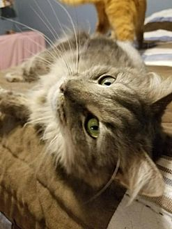 Domestic Longhair Cat for adoption in Codorus, Pennsylvania - Lemon