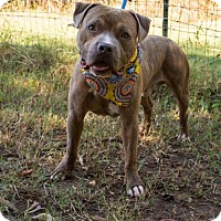 Pit Bull Terrier Mix Dog for adoption in Chester, South Carolina - FISHER C-16-1041