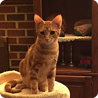 Bengal Kitten for adoption in Virginia Beach, Virginia - O'Mally