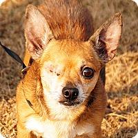 Adopt A Pet :: Jack Sparrow - Maynardville, TN