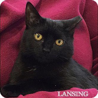 Domestic Mediumhair Kitten for adoption in Great Neck, New York - Lansing