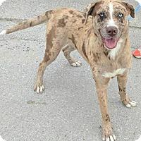 Adopt A Pet :: Harley - Dickinson, TX