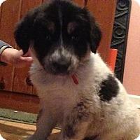 Adopt A Pet :: Athena - North Brunswick, NJ