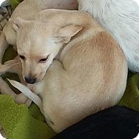 Adopt A Pet :: Golden Girl - Carthage, NC