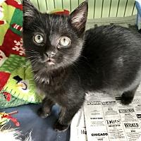 Adopt A Pet :: Bear - Island Park, NY
