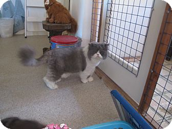 Persian Cat for adoption in Davis, California - Montecour