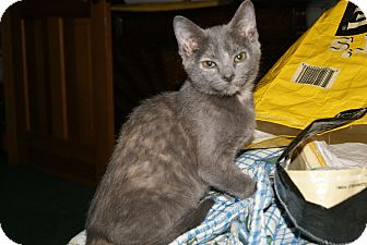 Domestic Shorthair Kitten for adoption in Bensalem, Pennsylvania - Teenie