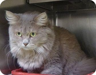 Domestic Longhair Cat for adoption in St. Petersburg, Florida - Blondi
