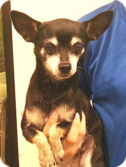 Chihuahua Dog for adoption in Orlando, Florida - Libbie