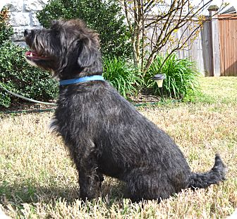 Labradoodle/Terrier (Unknown Type, Medium) Mix Dog for adoption in Westport, Connecticut - *Nestle - PENDING