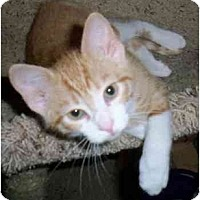 Adopt A Pet :: Tommy - Odenton, MD