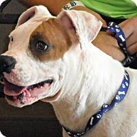 Adopt A Pet :: Harper - white settlment, TX