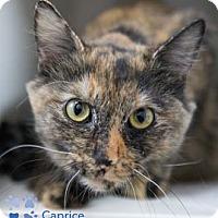 Adopt A Pet :: Caprice - Merrifield, VA