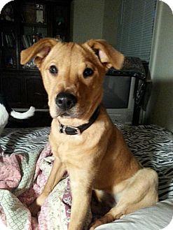 Labrador Retriever/Chow Chow Mix Dog for adoption in Marrero, Louisiana - Georgia - In A Foster Home