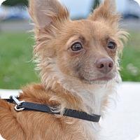 Adopt A Pet :: Perla - Tumwater, WA