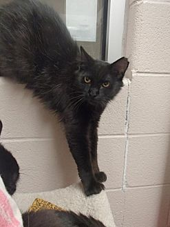 Domestic Longhair Cat for adoption in Lima, Ohio - Martin