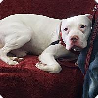 Adopt A Pet :: Linus - Mt Vernon, NY