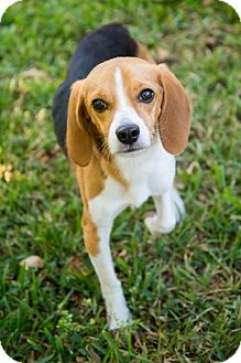 Beagle Dog for adoption in Miami, Florida - Guinness