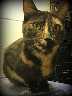 Domestic Shorthair Cat for adoption in St. Louis, Missouri - Babylon