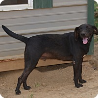 Labrador Retriever Mix Dog for adoption in Grenada, Mississippi - Thurman